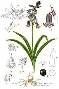 Hyacinthoides non-scripta