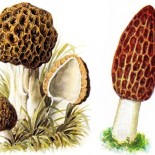 O et quand trouver des morilles ?